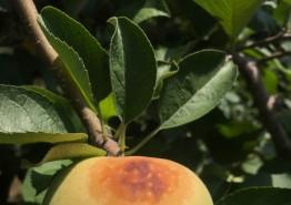 '폭염, 강한 햇볕'… 사과 일소피해 예방요령
