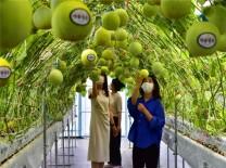 광주농업기술센터, 이색작물 '미니 채소류' 출하