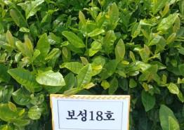 전남농업기술원, 차나무 신품종 '진녹' 통상실시