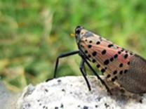 외래 매미충류 지난해보다 발생시기 3~7일 빨라질 것으로. 적기 방제 당부